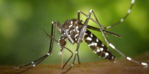 Ab wann gibt es Stechmücken und wie lange leben diese?